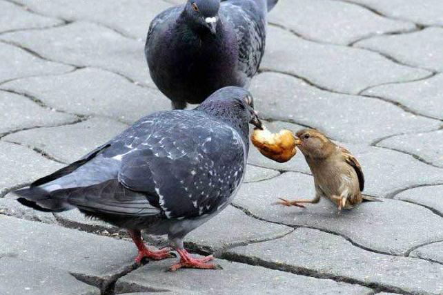 Pigeon voyageurs Moineau_1